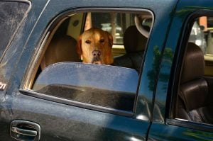 Dog Lays On The Horn Like A Pro After Being Tired Of Waiting In Traffic