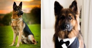 15 Photographs That Confirm The Prominence Of German Shepherds And Make You Respect Them Even More