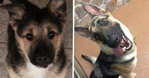 10 hilarious German Shepherd secrets that'll shatter your trust