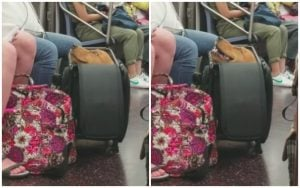 Big Ol' Pupper Rides Train In A Suitcase Because Only Pets In Carriers Are Allowed