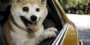 Despite Being Sick This Shiba Inu Doggo Who Never Stops Smiling Will Lighten Up Your Mood