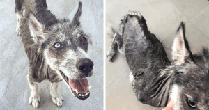 Rescued Husky Goes Through An Amazing Transformation That Will Make You Believe In Miracles