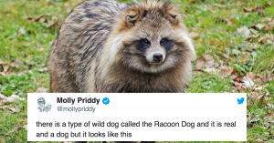 Raccoon Dogs Are A Real Animal And We Are Heccin' Obsessed