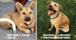 """10+ Majestic German Shepherd Mixes That Will Make You Yell """"I WANT ONE"""""""