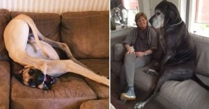 10+ Photos That Will Make You Want To Adopt A Great Dane Right Away